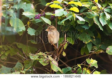 Female House Sparrow Perched On Twig In Hedge.