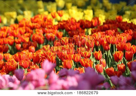 Flowering of colorful tulips Thailand Southeast Asia