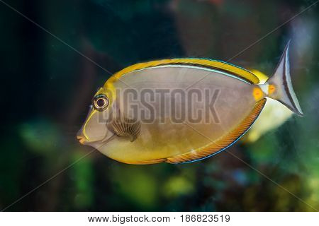 Beautiful yellow fish with a small triangular tail in the aquarium on the background of green seaweed