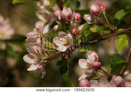 Apple blossom in spring on a plantation