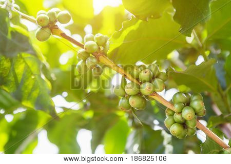 Green coffee beans on stem with sun set.