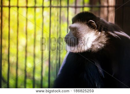 The Monkey, White Handed Gibbon Is Sitting, Playing Against The Background Of Green Foliage.