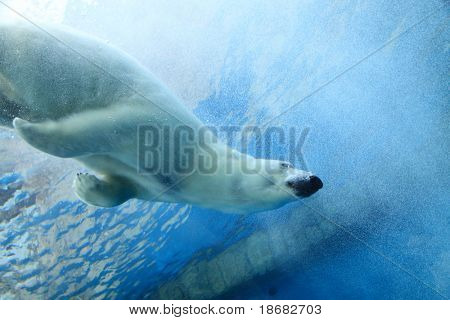 Underwater photo of a Polar Bear