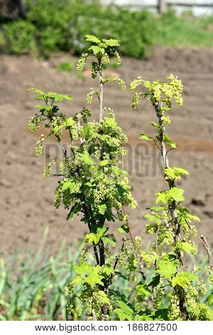 The young currant Bush in early spring. On the branches of many small green flowers.Flowering currant.