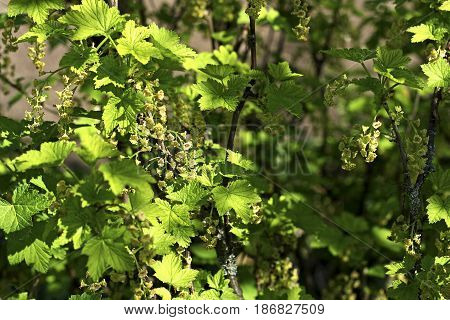 The currant Bush in early spring. On the branches of many small green flowers.Flowering currant.