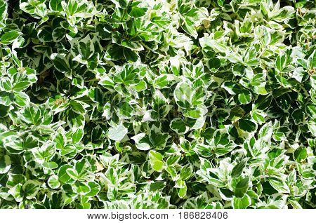 Variagated green and white Box Hedging in large group