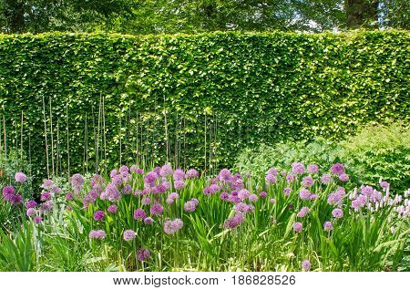 Purple alliums in English Border with Hedge in background