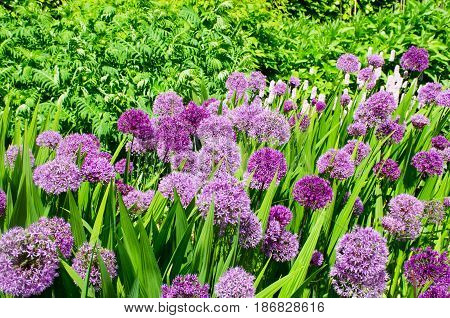Group of large purple Alliums in border