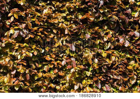 Mass of Brown and purple leaves in hedging