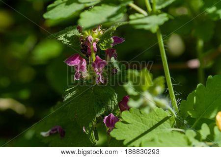 Lamium purpureum blooming in the garden. Medicinal plants close up