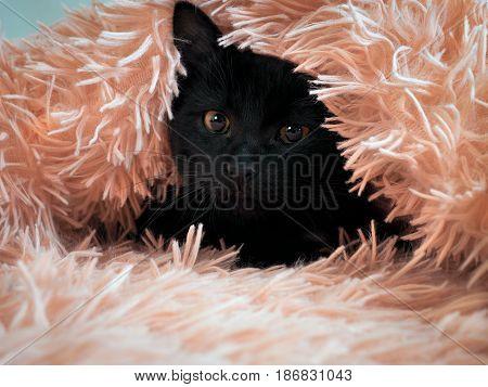 Funny black kitten peeking out from under a fluffy blanket