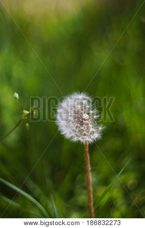 Dandelion seeds in the morning sunlight with a fresh green field in the background. Dandelion is a good natural depurative of the liver