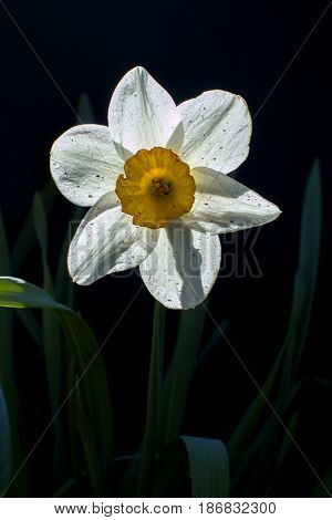 White narcissus flower on a black background