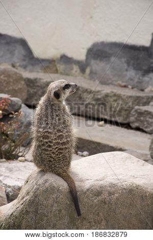 Cute Meerkat (Suricata Suricatta) on stone guards his territory