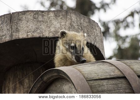 South American coati (Nasua nasua) also known as the ring-tailed coati. Wildlife animal.