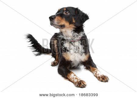 Mixed Breed Dog, Kooiker, Frisian Pointer