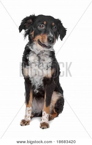 mixed breed dog kooiker Frisian Pointer in front of a white background poster