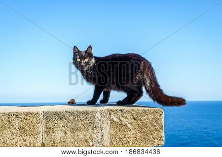 Black Wild Cat In Leuca, Puglia, Italy