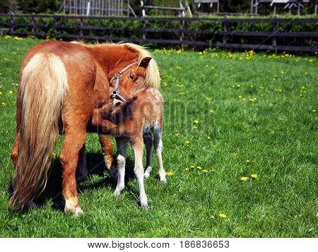 Polish miniature horse mare feeding her foal