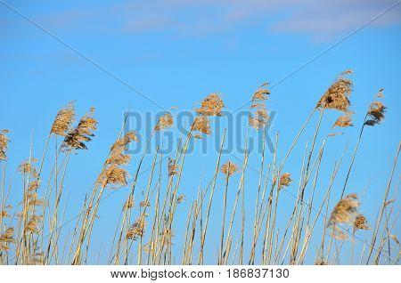 Dry reeds in spring on blue sky background.