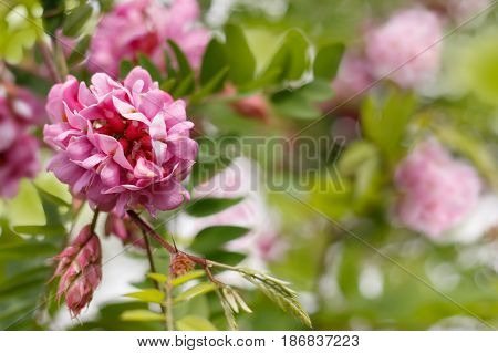 pink flowers of robinia viscosa plant foliage and flowers pink color. Spring blur background. Horizontal composition.