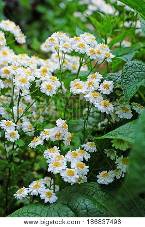 flowering feverfew (tanacetum parthenium) in cottage garden