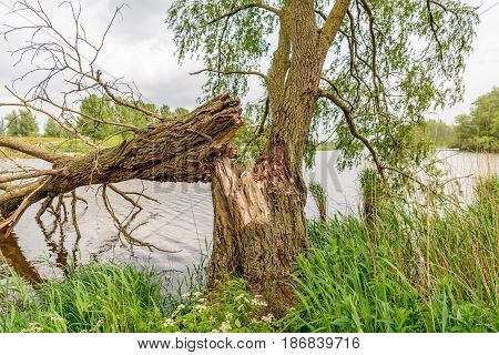 Fallen willow tree on the bank of a Dutch river on a cloudy day in sprintime.