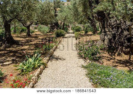 The Garden of Gethsemane on the Mount of Olives in Jerusalem, Israel. Old olive trees in the Garden