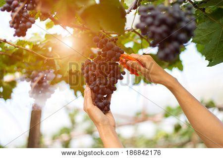 Farmer woman picking grape during wine harvest
