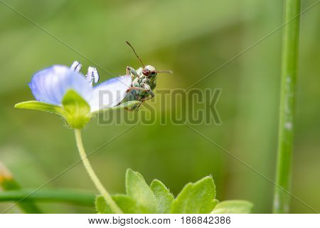 Springtime. Macro shot of a snout beetle on speedwell birdeye.