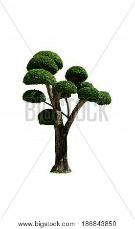Bonsai tree in garden on white background