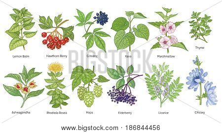 Medical plants colorful set. Lemon Balm Hawthorn Berry Rhodiola Rosea Kava Licorice Marshmallow Chicory Ashwagandha Hops Thyme Elderberry Siberian ginseng. Vector illustration art. Vintage.