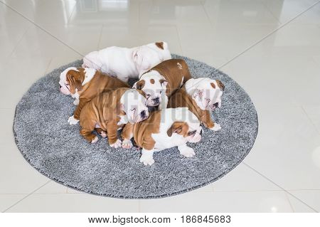 Cute English bulldog puppies lie together on the carpet.