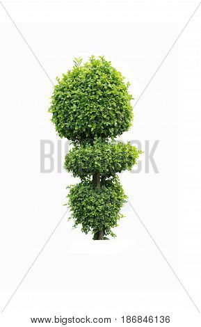 Decorated tree or Decorative shrub on isolated background