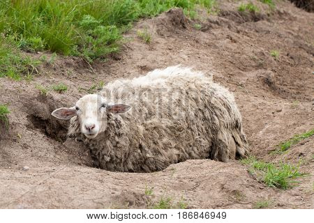 Sheep with dirty wool lies on the ground.