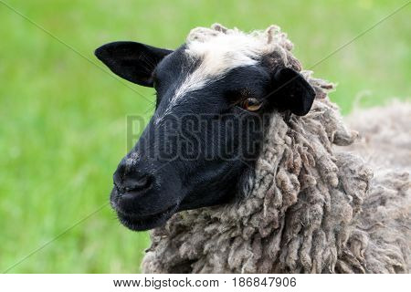 one sheep graze on the green grass. Close-up.