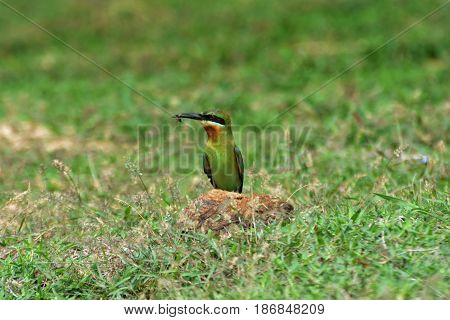 Blue-tailed Bee-eater. Merops phillippensis. Beautiful bird in nature.
