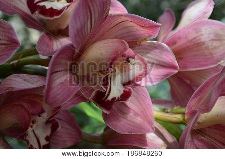 Garden with dark pink blooming orchids flowering.