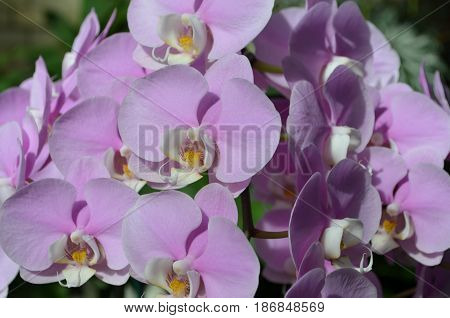 Blooming collection of pale pink orchid flowers.