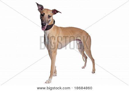 Greyhound, Whippet, Galgo Dog
