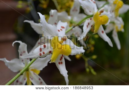 Pretty white and yellow spotted orchid flower blossom.