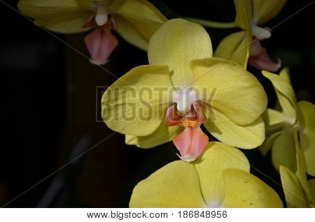 Blooming yellow and pale pink orchid flowering.