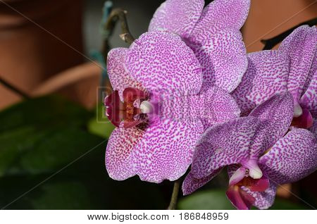 Flowering spotted pink and white orchids in full bloom.