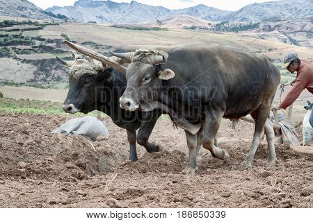 Close up view of a pair of oxen plowing land in Urubamba Valley. October 18 2012 - Maras Urubamba Valley Peru