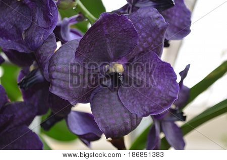 Gorgeous dark purple orchid flowers blooming in a garden.