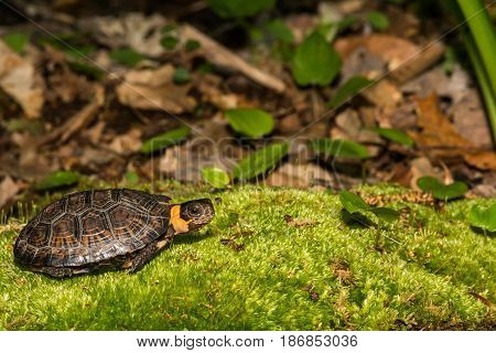 A close up of a young Bog Turtle in the wild.