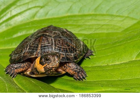 A Bog Turtle isolated on a green leaf