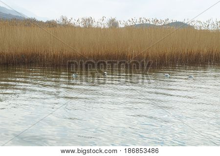 Reeds over the Ohrid lake, Macedonian republic