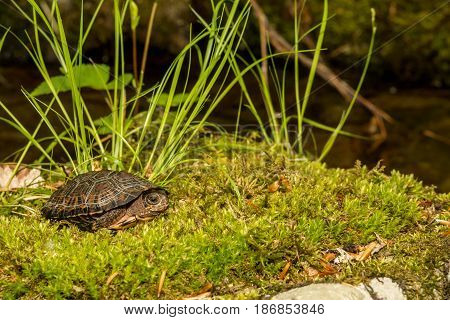 A Bog Turtle basking on a bed of moss.