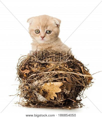 Kitten domestic cat cute pet feline mammal playing